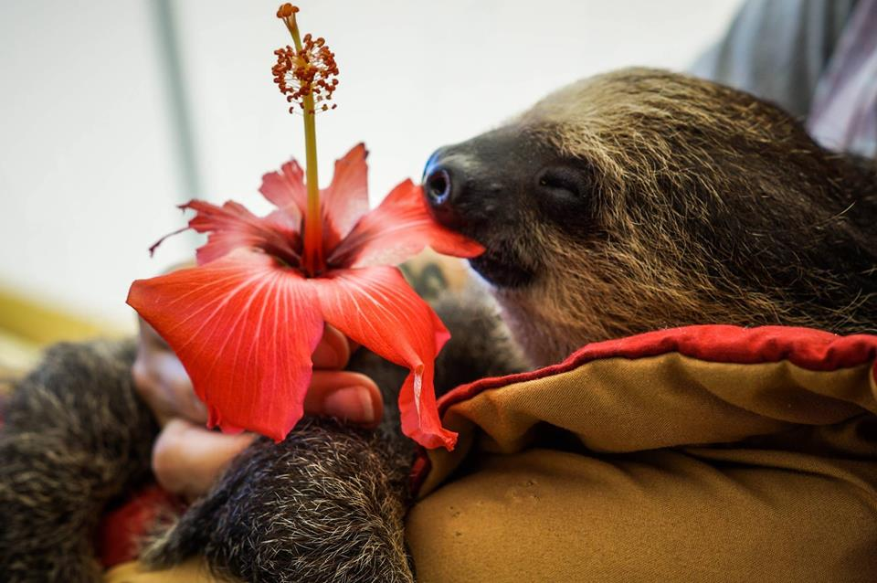 Rayna - Two-toed Sloth